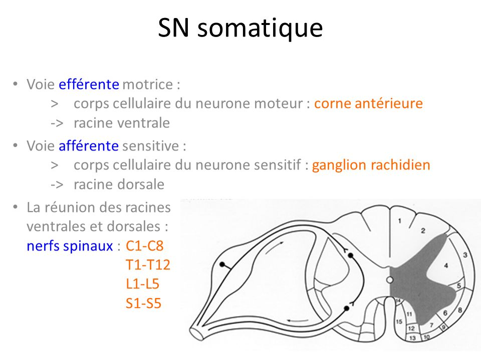 SN somatique Voie efférente motrice : > corps cellulaire du neurone moteur : corne antérieure ->racine ventrale Voie afférente sensitive : >corps cellulaire du neurone sensitif : ganglion rachidien -> racine dorsale La réunion des racines ventrales et dorsales : nerfs spinaux : C1-C8 T1-T12 L1-L5 S1-S5