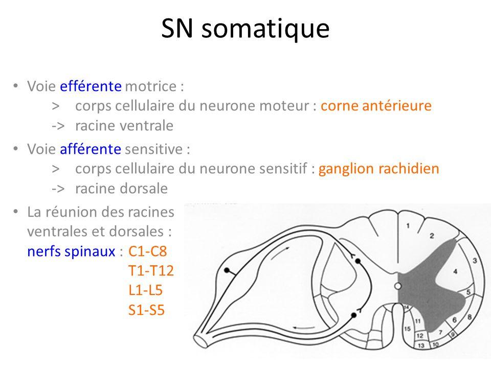 Nerf musculo-cutané Origines > C5C6 >TPS -> TSAE Collatérales >n.
