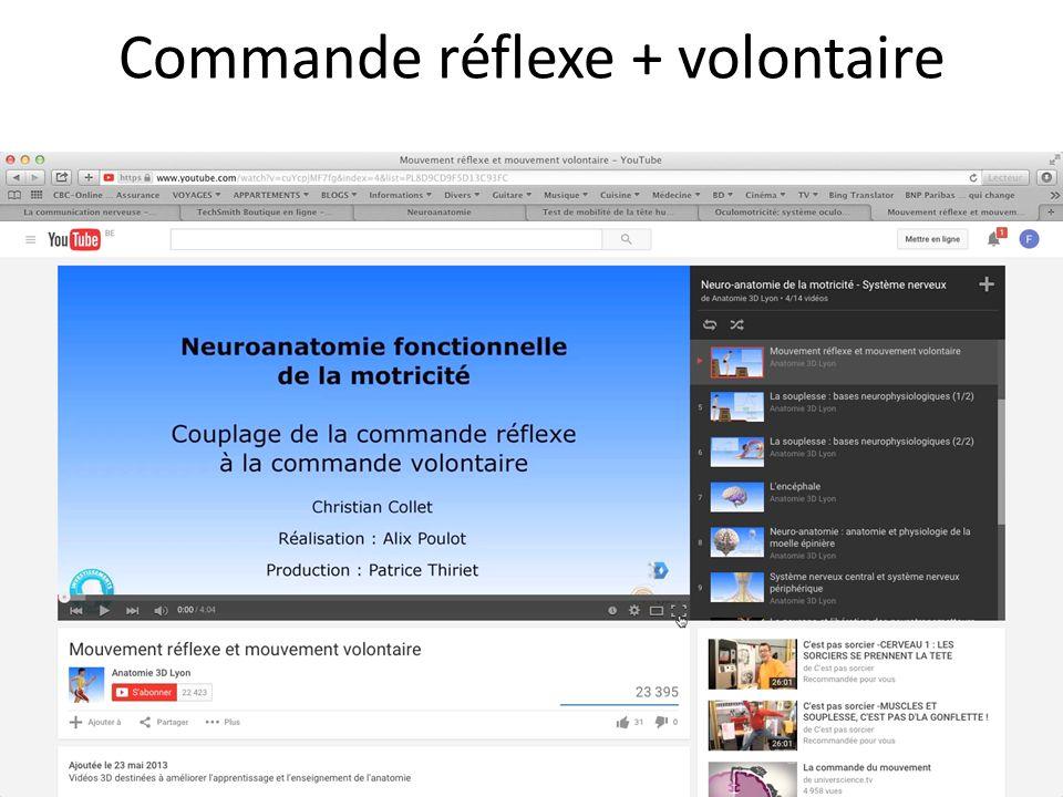 Commande réflexe + volontaire