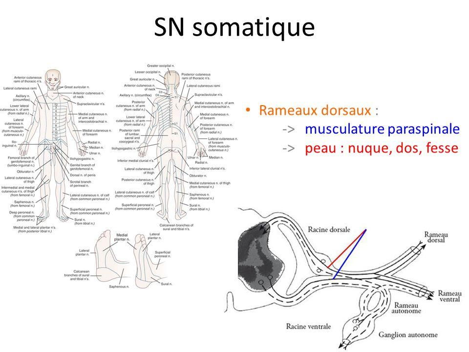 SN somatique Rameaux ventraux : -> plexi -> nerfs intercostaux