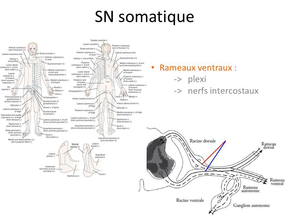 Nerf fibulaire profond Origines > L4, L5, S1, S2 -> divisions post des rameaux ventraux >plexus lombo-sacré -> n.