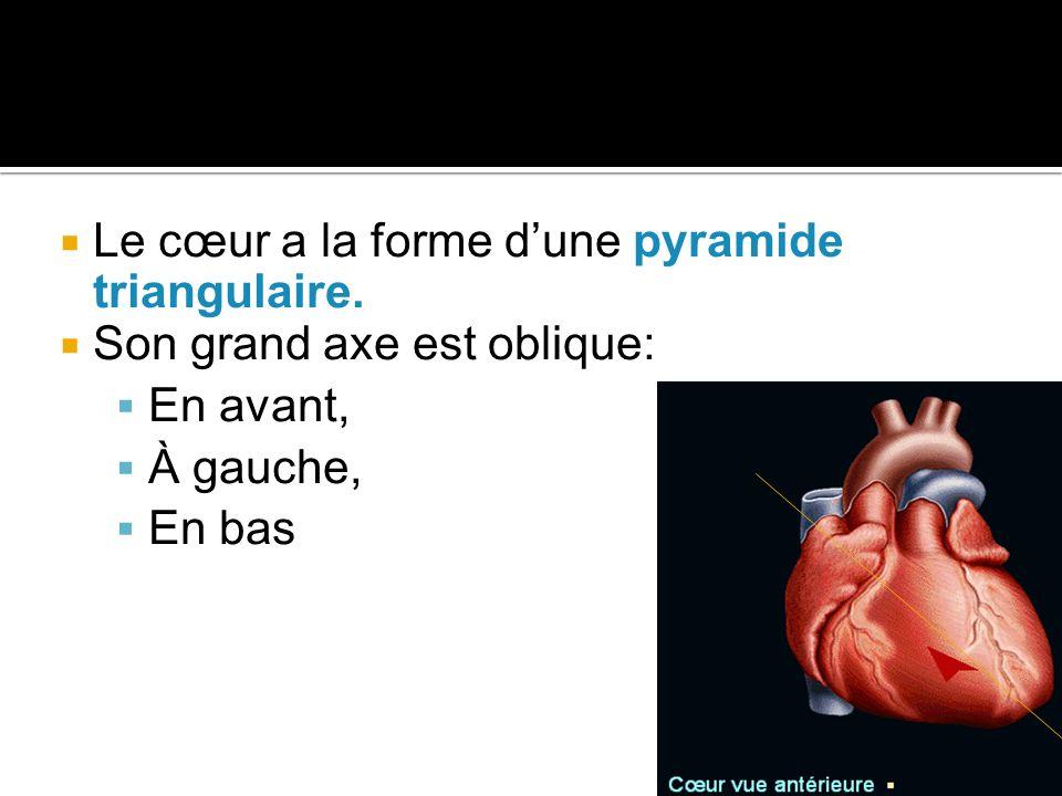  Le cœur a la forme d'une pyramide triangulaire.  Son grand axe est oblique:  En avant,  À gauche,  En bas