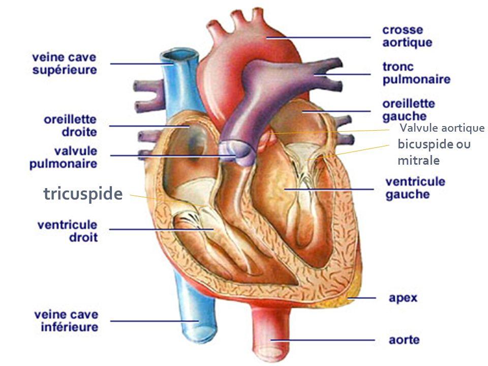  L artère pulmonaire part du ventricule droit du cœur auquel elle est séparée par la valve pulmonaire.