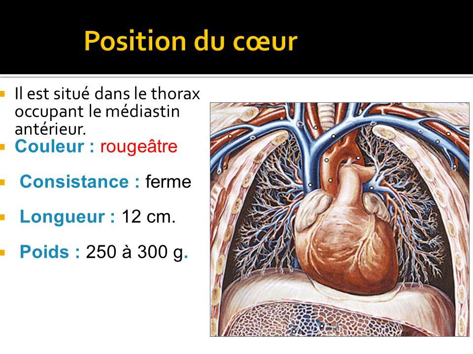  Il est situé dans le thorax occupant le médiastin antérieur.  Couleur : rougeâtre  Consistance : ferme  Longueur : 12 cm.  Poids : 250 à 300 g.