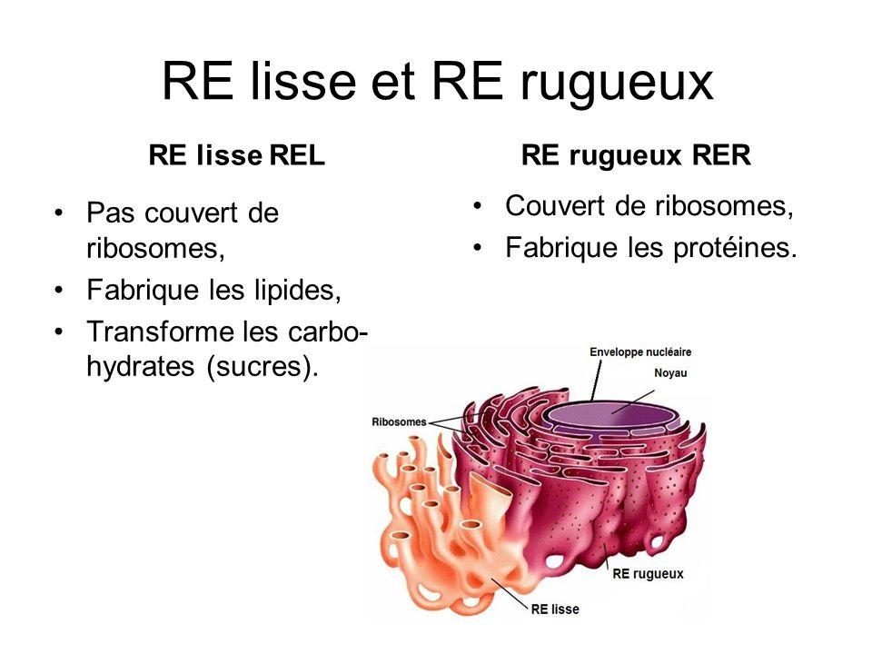 RE lisse et RE rugueux RE lisse REL Pas couvert de ribosomes, Fabrique les lipides, Transforme les carbo- hydrates (sucres).