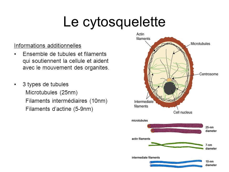 Le cytosquelette Informations additionnelles Ensemble de tubules et filaments qui soutiennent la cellule et aident avec le mouvement des organites.