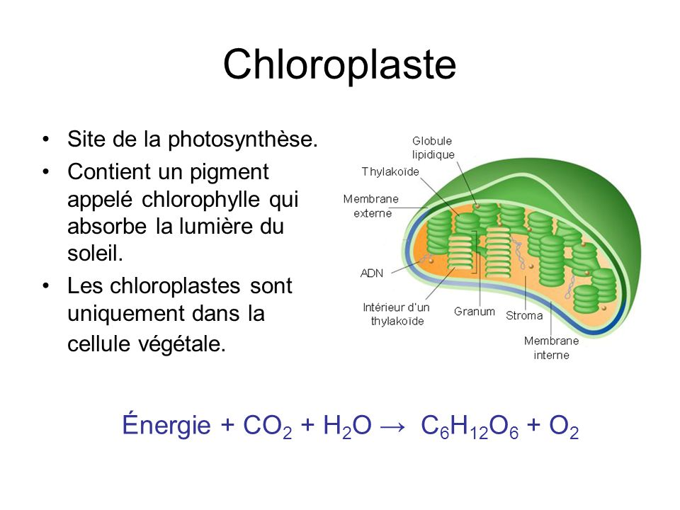 Chloroplaste Site de la photosynthèse.