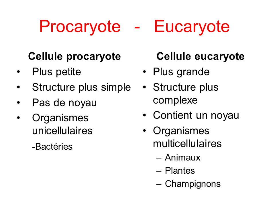 Procaryote - Eucaryote Cellule procaryote Plus petite Structure plus simple Pas de noyau Organismes unicellulaires -Bactéries Cellule eucaryote Plus grande Structure plus complexe Contient un noyau Organismes multicellulaires –Animaux –Plantes –Champignons
