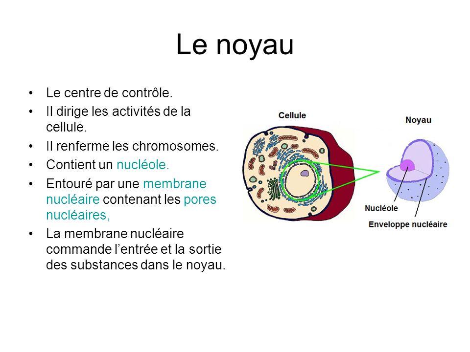 Le noyau Le centre de contrôle.Il dirige les activités de la cellule.