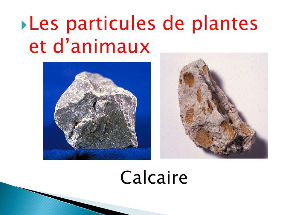  Les particules de plantes et d'animaux Calcaire
