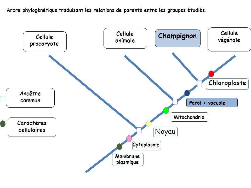 Cellule végétale Arbre phylogénétique traduisant les relations de parenté entre les groupes étudiés. Cellule procaryote Cellule animale Cytoplasme Noy