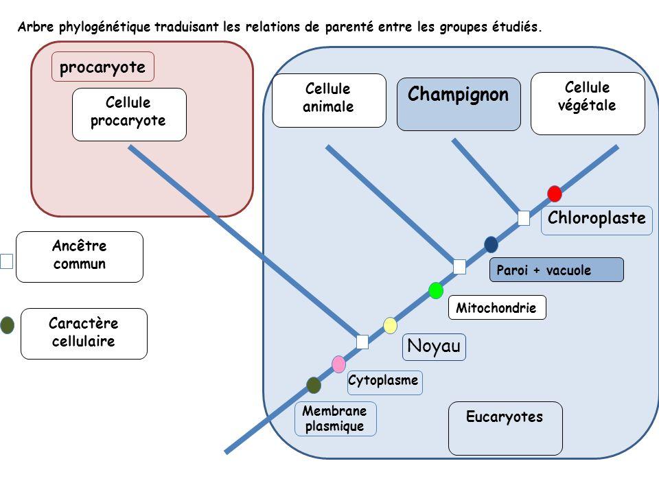 Arbre phylogénétique traduisant les relations de parenté entre les groupes étudiés. Cellule procaryote Cellule animale Cytoplasme Noyau Chloroplaste C