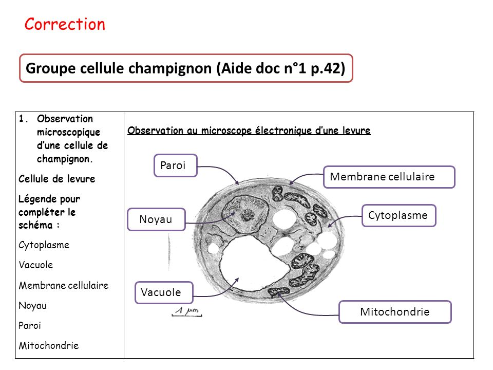 Correction Groupe cellule champignon (Aide doc n°1 p.42) 1.Observation microscopique d'une cellule de champignon. Cellule de levure Légende pour compl