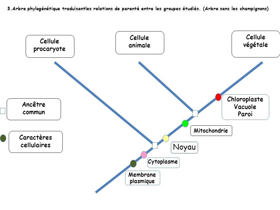 3.Arbre phylogénétique traduisantles relations de parenté entre les groupes étudiés. (Arbre sans les champignons) Cellule procaryote Cellule animale C