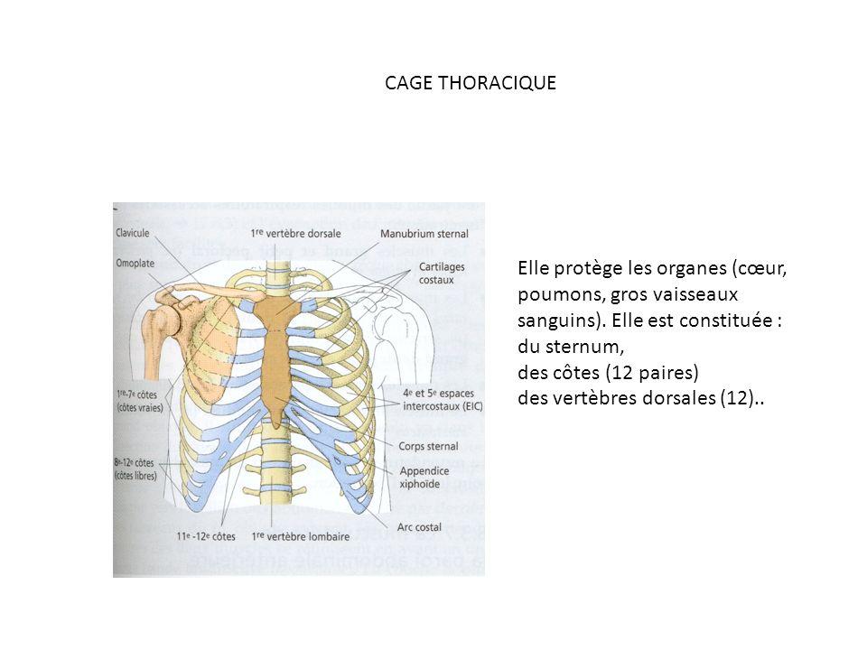 Elle protège les organes (cœur, poumons, gros vaisseaux sanguins).