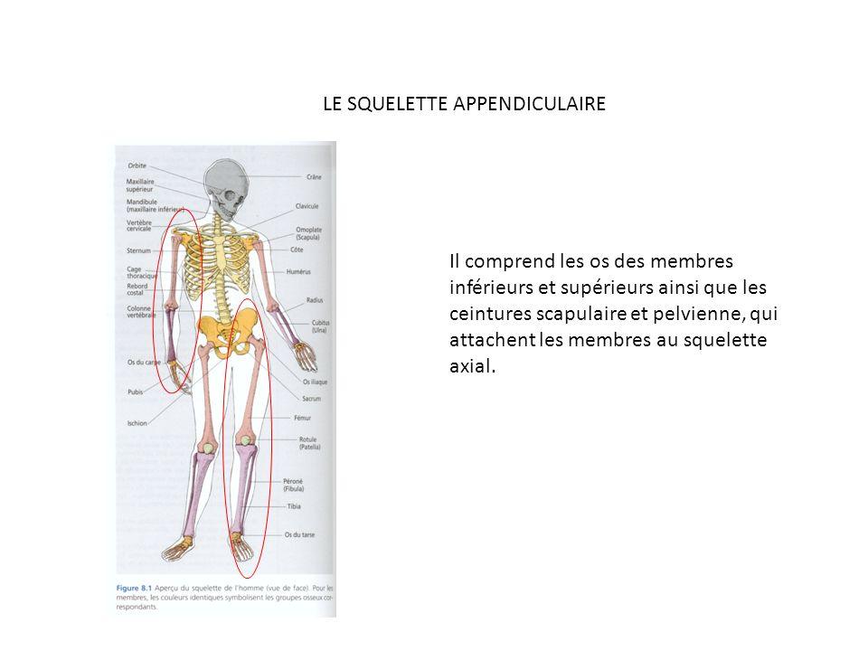 LE SQUELETTE APPENDICULAIRE Il comprend les os des membres inférieurs et supérieurs ainsi que les ceintures scapulaire et pelvienne, qui attachent les membres au squelette axial.