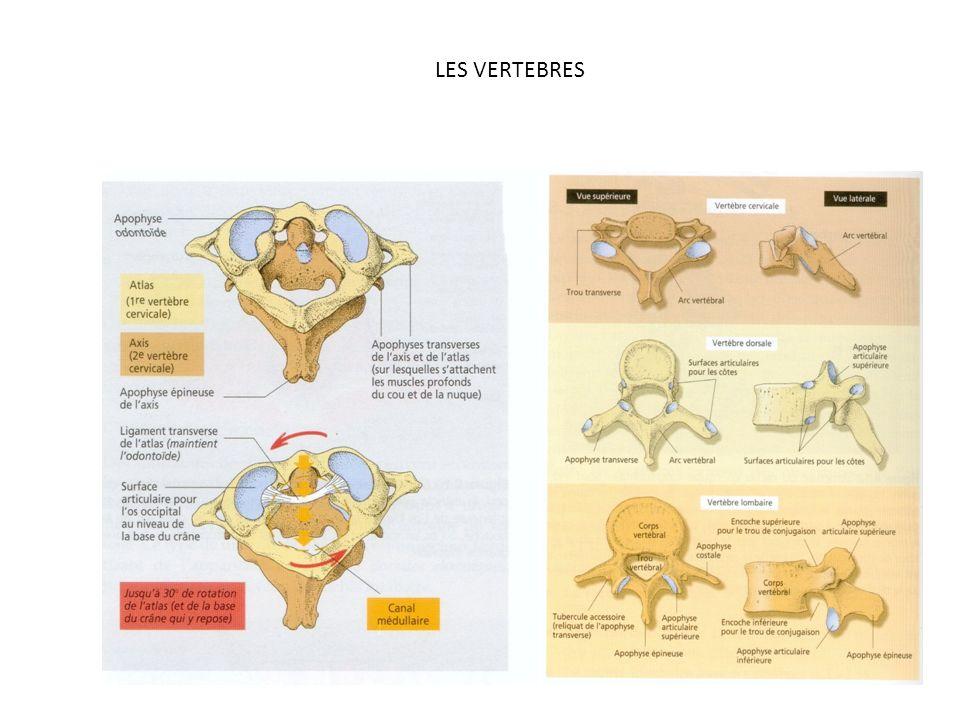LES 7 VERTEBRES CERVICALES La forme particulière de l'Atlas (C1) nous permet d'incliner la tête en signe d'assentiment.