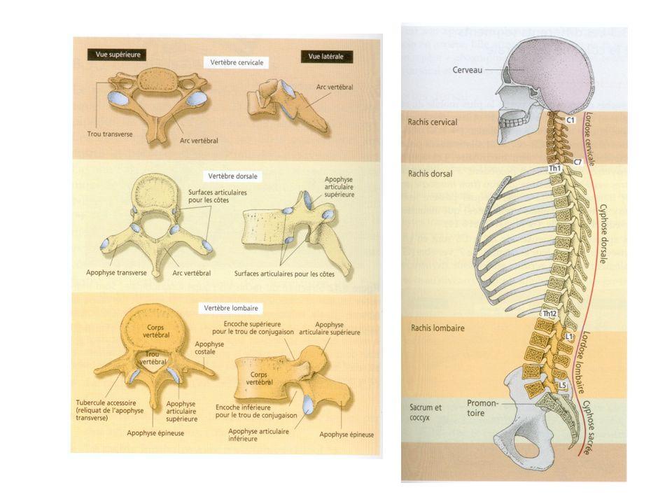 LES DISQUES VERTEBRAUX Les vertèbres sont séparées les unes des autres par des disques intervertébraux, faits de cartilages fibreux souples qui leur servent de coussins et amortissent les chocs.