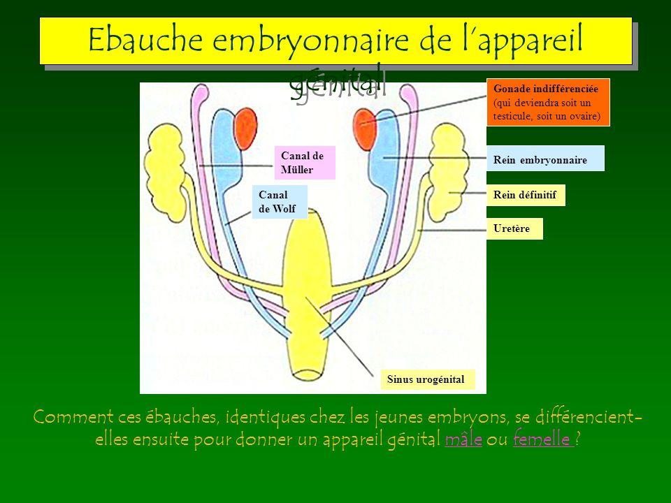 Gonade indifférenciée (qui deviendra soit un testicule, soit un ovaire) Rein embryonnaire Rein définitif Uretère Sinus urogénital Canal de Müller Cana