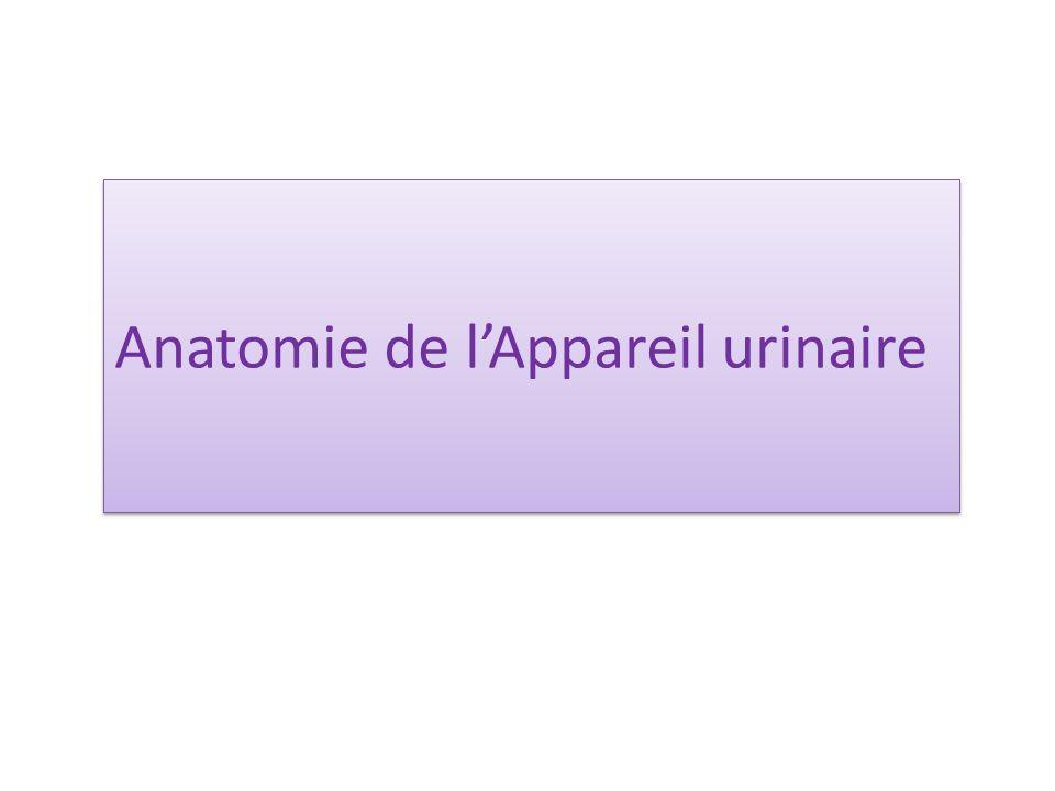 Anatomie de l'Appareil urinaire