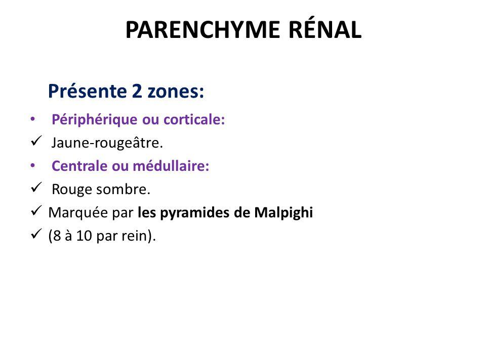 PARENCHYME RÉNAL Périphérique ou corticale: Jaune-rougeâtre.