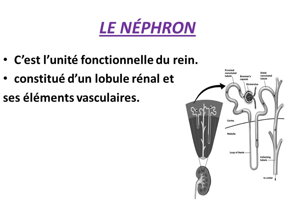 LE NÉPHRON C'est l'unité fonctionnelle du rein.