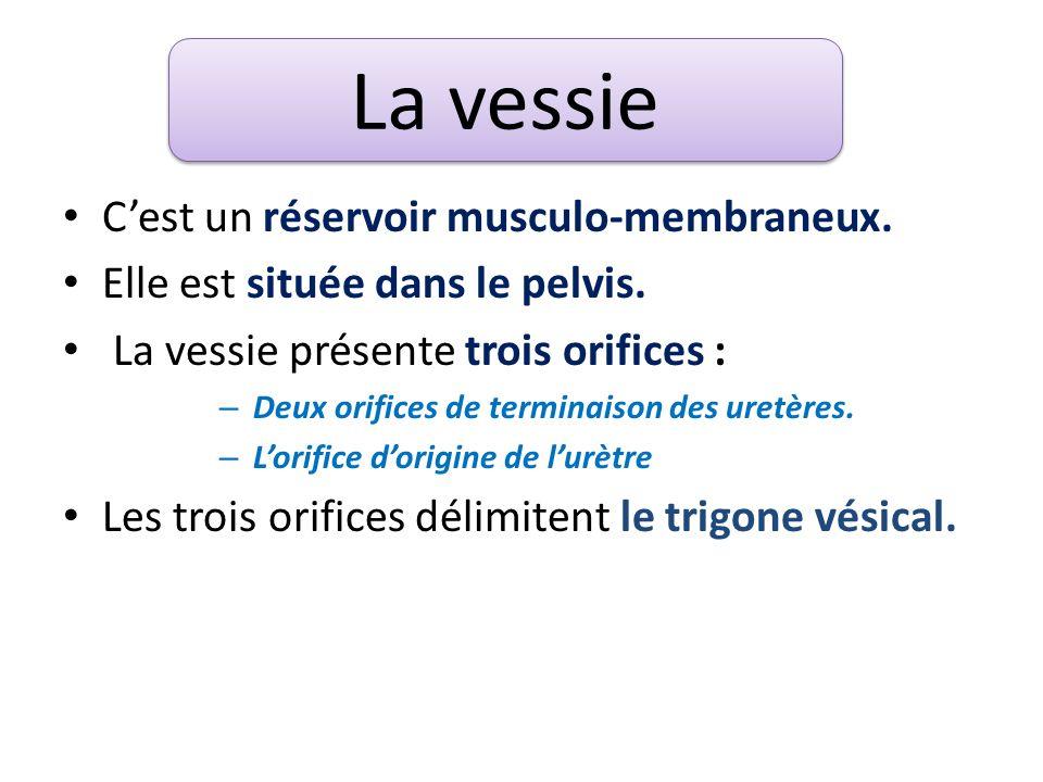 C'est un réservoir musculo-membraneux.Elle est située dans le pelvis.