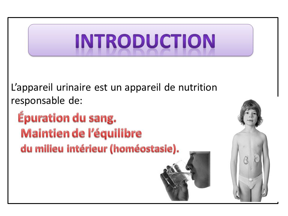 Constitution de l'appareil urinaire  2 organes sécréteurs: Les reins.