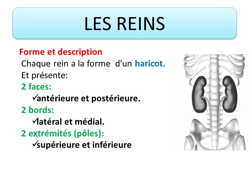 Forme et description Le bord médial présente à son milieu un orifice, le hile rénal (où passent les vaisseaux et les canaux excréteurs intra- rénaux).