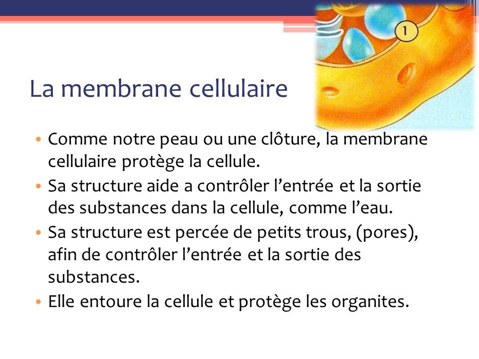 La membrane cellulaire Comme notre peau ou une clôture, la membrane cellulaire protège la cellule.