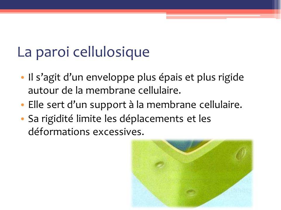 La paroi cellulosique Il s'agit d'un enveloppe plus épais et plus rigide autour de la membrane cellulaire.