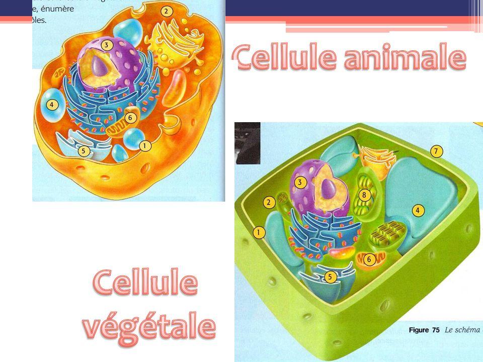 1 Membrane Cellulaire 2Cytoplasme 3Noyau 4Vacuoles 5 Réticulum endoplasmique 6Mitochondries 7Lysosomes 8Ribosomes 9 Appareil de Golgi 7 9 8