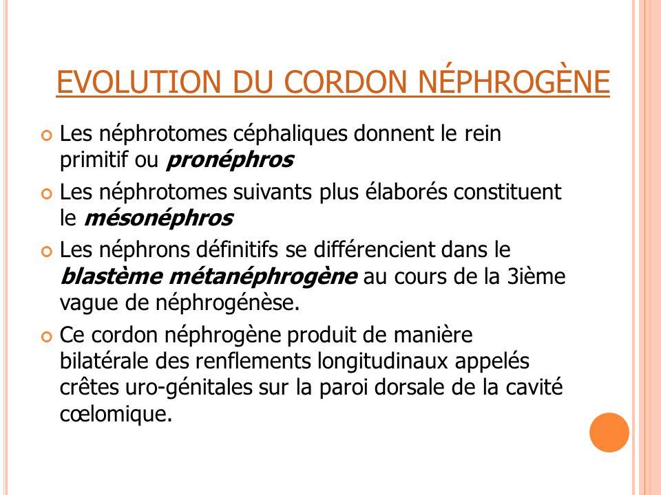 EVOLUTION DU CORDON NÉPHROGÈNE Les néphrotomes céphaliques donnent le rein primitif ou pronéphros Les néphrotomes suivants plus élaborés constituent l