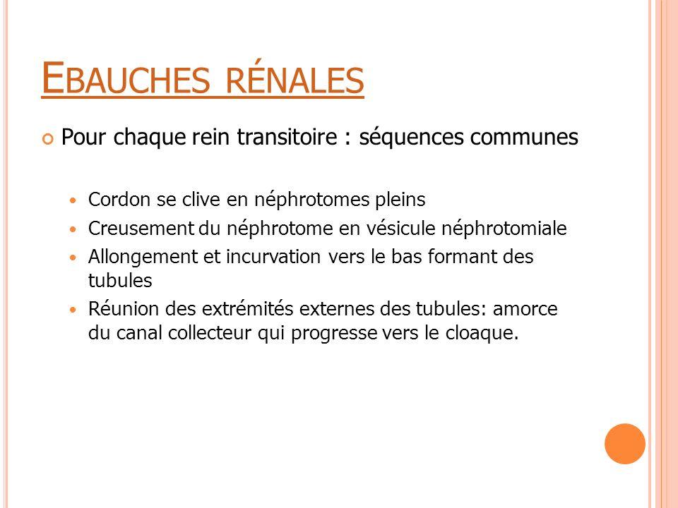 E BAUCHES RÉNALES Pour chaque rein transitoire : séquences communes Cordon se clive en néphrotomes pleins Creusement du néphrotome en vésicule néphrot