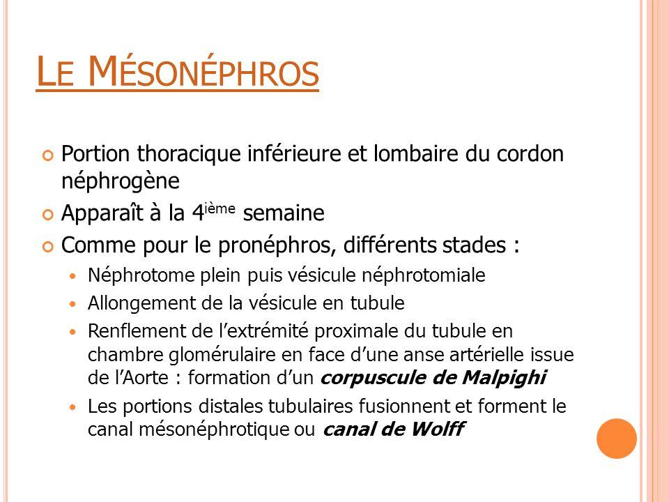 L E M ÉSONÉPHROS Portion thoracique inférieure et lombaire du cordon néphrogène Apparaît à la 4 ième semaine Comme pour le pronéphros, différents stad