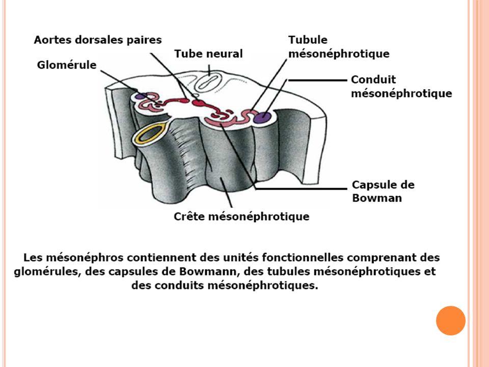 L E M ÉSONÉPHROS Les corpuscules de Malpighi se forment par : dilatation sphérique de l'extrémité proximale des tubules, apparition d'une « chambre glomérulaire » dont la membrane = la capsule de Bowman Creusement de la sphère qui va s'invaginer par entrée de vaisseaux sanguins (formant le glomérule) Le corpuscule de Malpighi et le reste du tubule jusqu'à son abouchement dans le canal de Wolff forment un néphron.