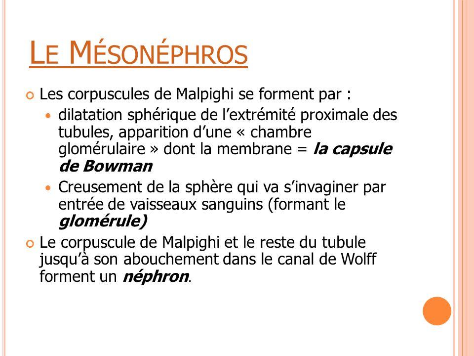 L E M ÉSONÉPHROS Les corpuscules de Malpighi se forment par : dilatation sphérique de l'extrémité proximale des tubules, apparition d'une « chambre gl