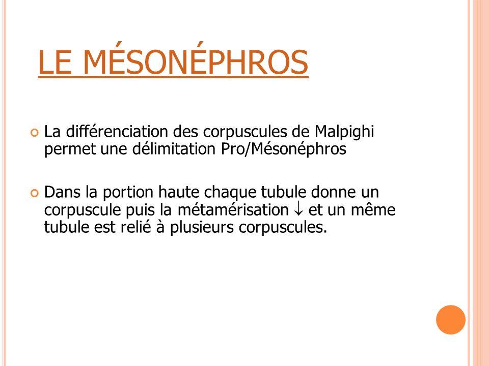 LE MÉSONÉPHROS La différenciation des corpuscules de Malpighi permet une délimitation Pro/Mésonéphros Dans la portion haute chaque tubule donne un cor