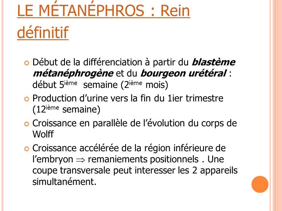 LE MÉTANÉPHROS : Rein définitif Début de la différenciation à partir du blastème métanéphrogène et du bourgeon urétéral : début 5 ième semaine (2 ième
