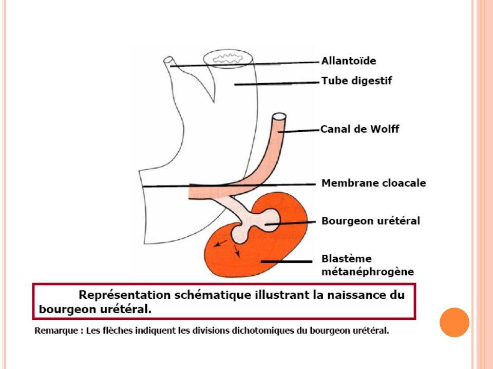 LE MÉTANÉPHROS : Rein définitif Deux « origines » mésoblastiques différentes : Blastème métanéphrogène : masse solide de tissu directement dérivée du mésoblaste intermédiaire.