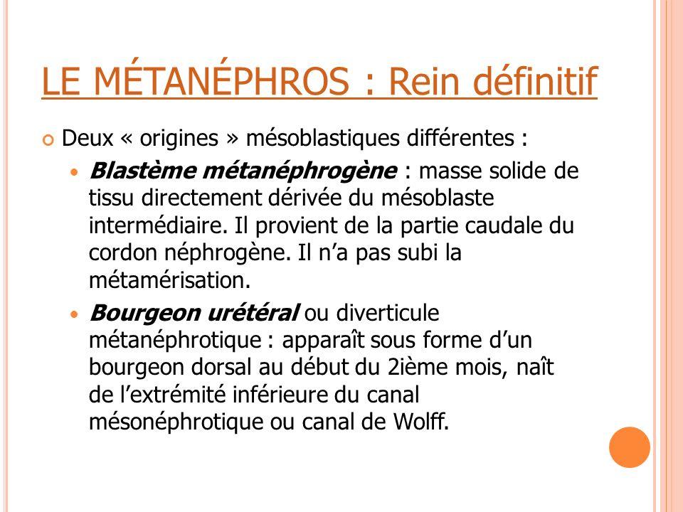 LE MÉTANÉPHROS : Rein définitif Deux « origines » mésoblastiques différentes : Blastème métanéphrogène : masse solide de tissu directement dérivée du