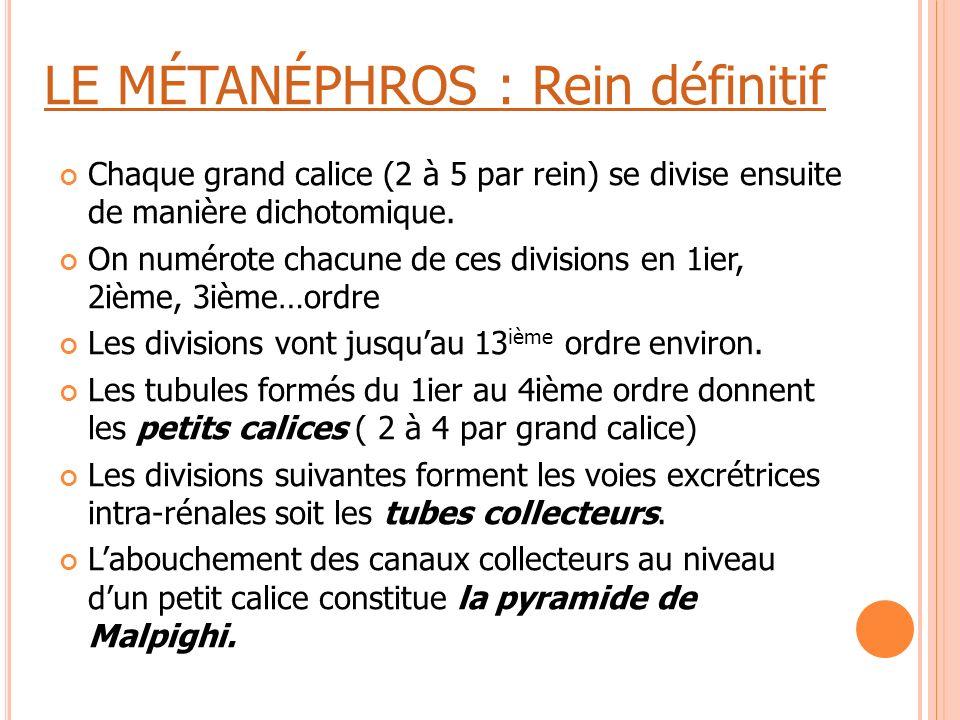 LE MÉTANÉPHROS : Rein définitif Chaque grand calice (2 à 5 par rein) se divise ensuite de manière dichotomique. On numérote chacune de ces divisions e