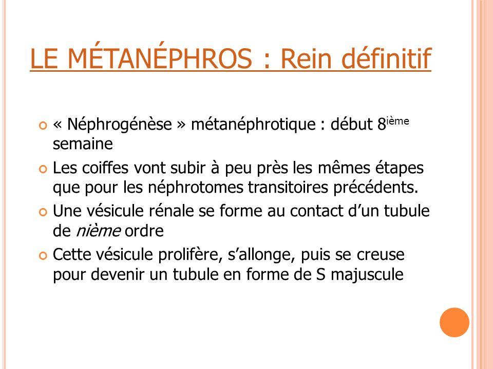LE MÉTANÉPHROS : Rein définitif « Néphrogénèse » métanéphrotique : début 8 ième semaine Les coiffes vont subir à peu près les mêmes étapes que pour le