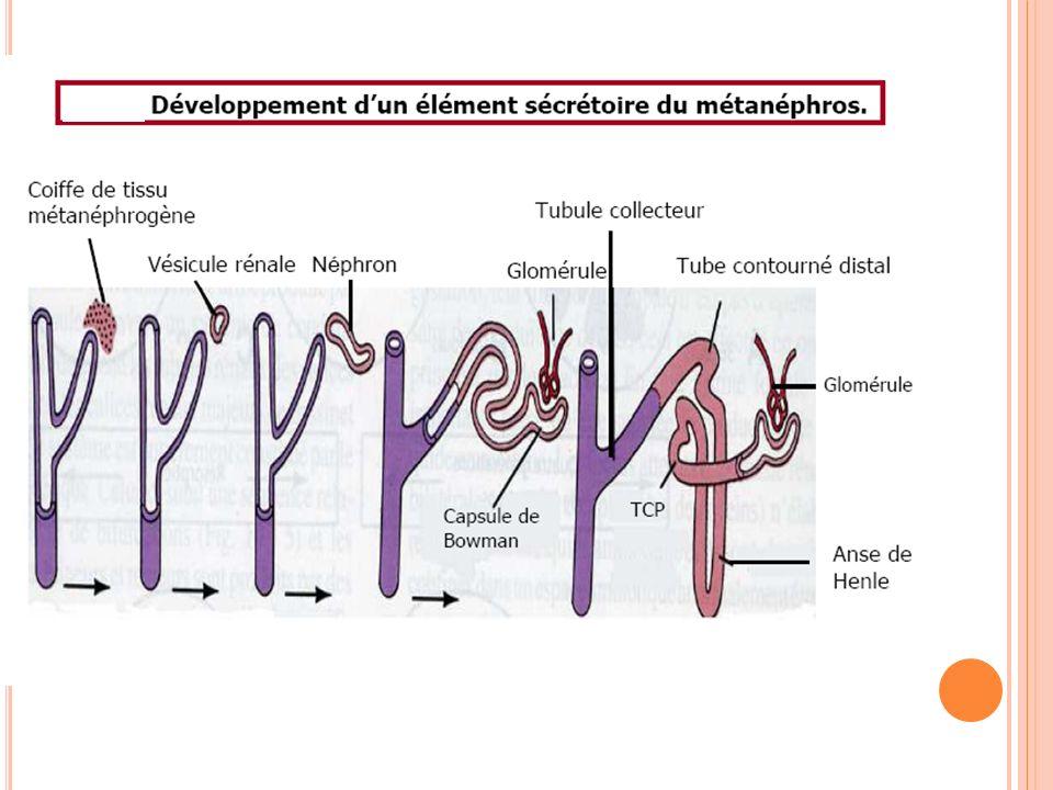 LE MÉTANÉPHROS : Rein définitif Les néphrons poursuivent leur développement mais leurs extrémités étant fixes, leur portion tubuliforme forme des méandres La portion tubulaire proximale constitue « le tube contourné proximal » et la portion distale « le tube contourné distal » Enfin la portion médiane du S s'allonge de façon linéaire : formation de l'anse de Henlé qui prend une direction parenchymateuse médullaire.