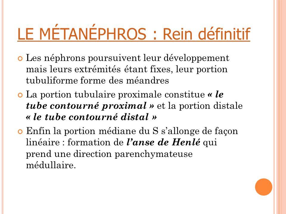 LE MÉTANÉPHROS : Rein définitif Les néphrons poursuivent leur développement mais leurs extrémités étant fixes, leur portion tubuliforme forme des méan
