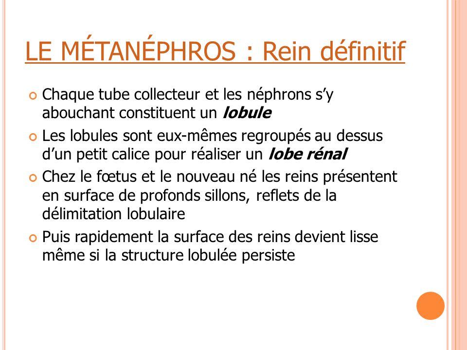 LE MÉTANÉPHROS : Rein définitif Chaque tube collecteur et les néphrons s'y abouchant constituent un lobule Les lobules sont eux-mêmes regroupés au des