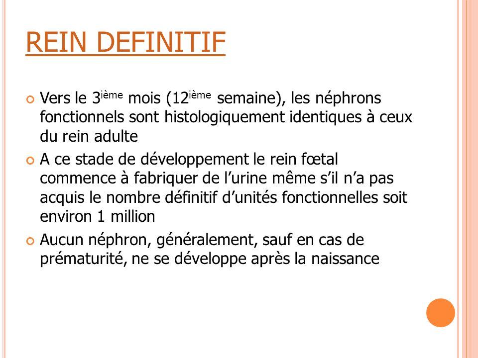 REIN DEFINITIF Vers le 3 ième mois (12 ième semaine), les néphrons fonctionnels sont histologiquement identiques à ceux du rein adulte A ce stade de d