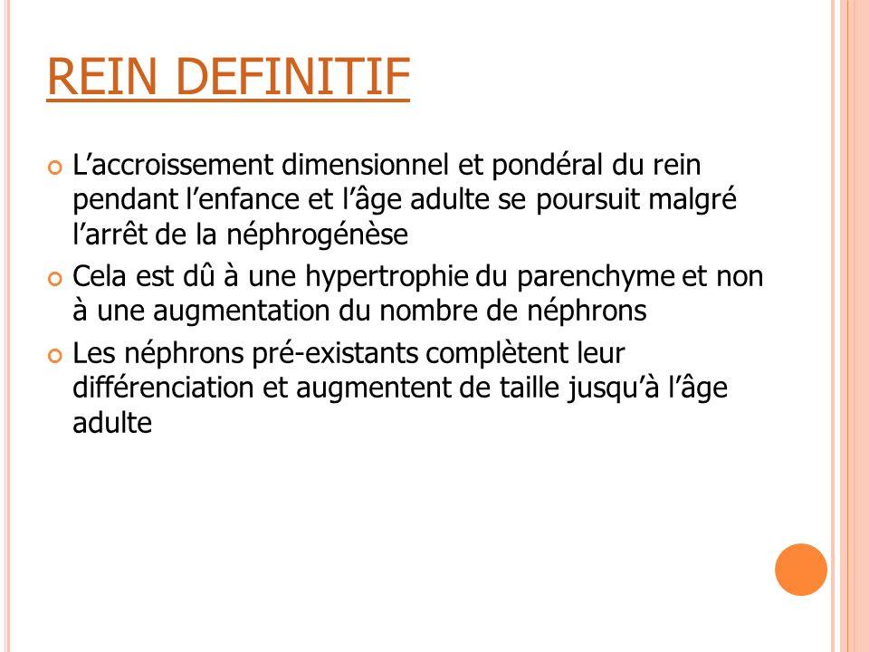 REIN DEFINITIF L'accroissement dimensionnel et pondéral du rein pendant l'enfance et l'âge adulte se poursuit malgré l'arrêt de la néphrogénèse Cela e