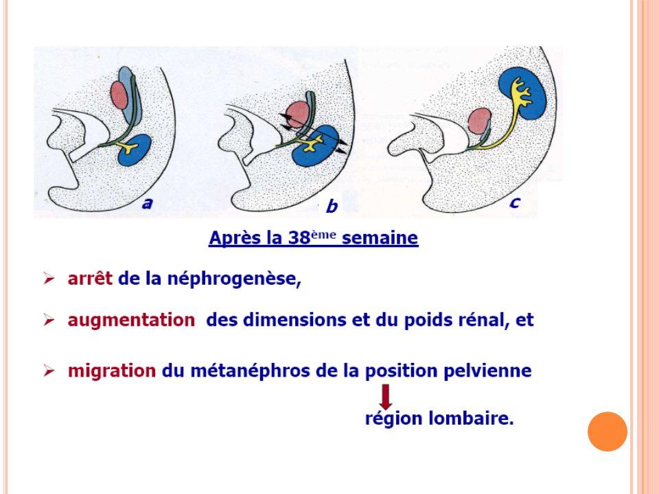 REIN DEFINITIF : MIGRATION Le métanéphros est formé dans la région sacrée au niveau de la première vertèbre sacrée (S1) et de la bifurcation de l aorte.