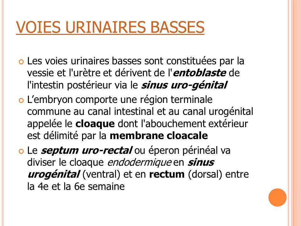 VOIES URINAIRES BASSES Les voies urinaires basses sont constituées par la vessie et l'urètre et dérivent de l'entoblaste de l'intestin postérieur via
